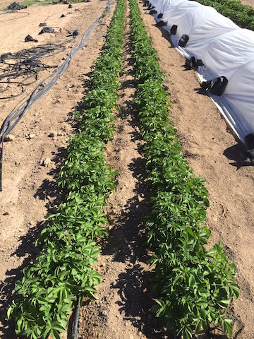 Colorado Rose potato plants
