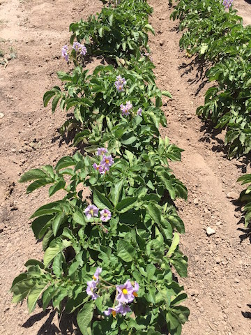 Potato plants blooming